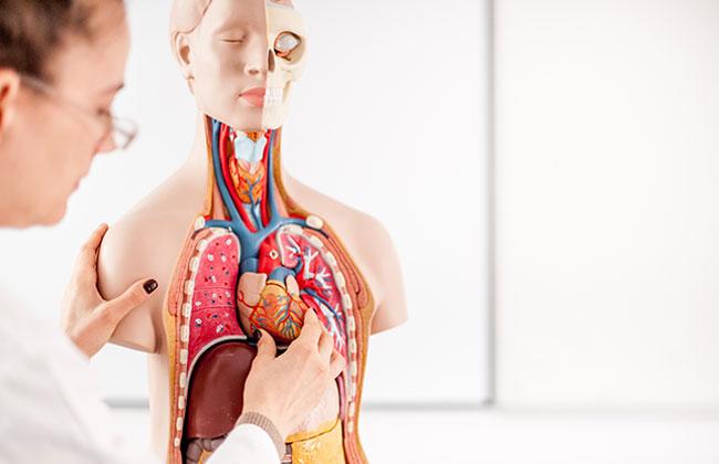 Forscher entdecken neues Organ im menschlichen Körper? - KOSMO