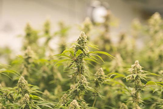 Massiver Cannabis-Fund in Wien