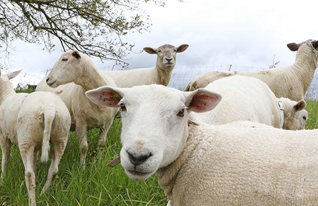 Auf der Donauinsel sollen künftig Schafe grasen