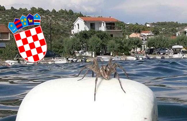 Kroatien Riesenspinne