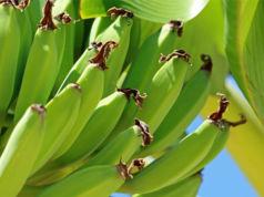 Banane in Gefahr